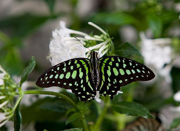 A Tailed Jay Butterfly