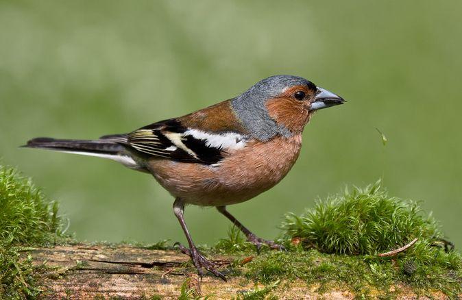 Aufgenommen Bei Mir Im Garten Vogel Bestimmen Buchfink Vogel Im Garten