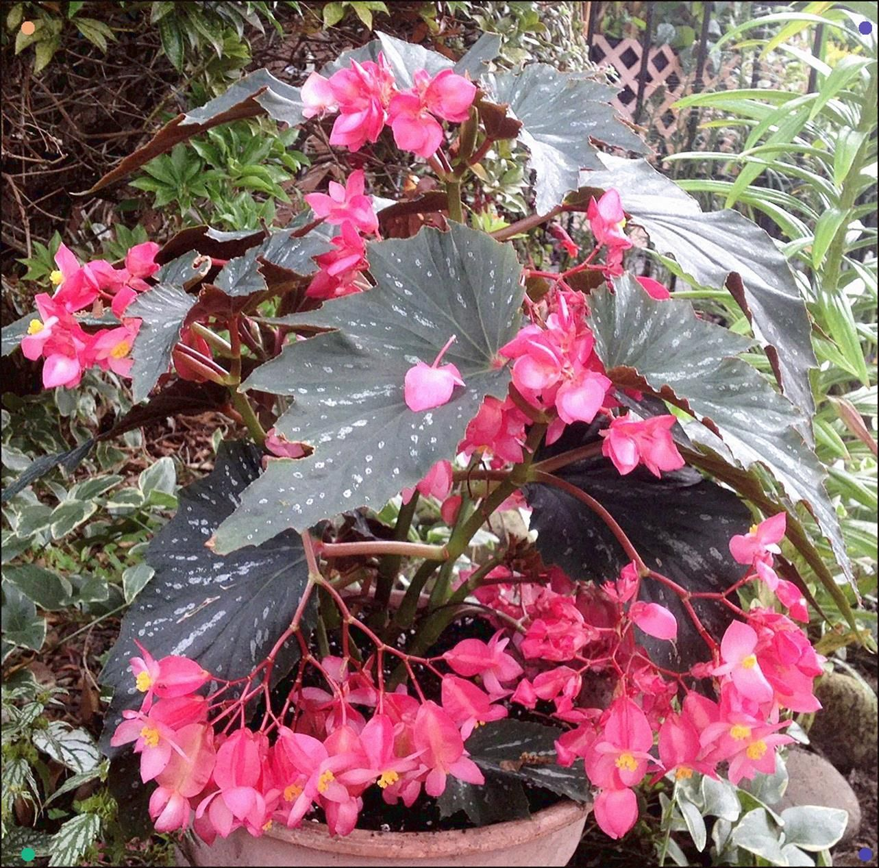 Angel Wing Begonia Beginners Guide To The Angel Wing Begonia Angel Wing Begonia Is A Long Established Plant That Is Coming Back In Plants Bonsai Flower Begonia