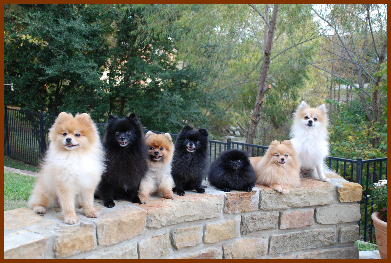 Many Pomeranians From The Amazing Rescue Organization