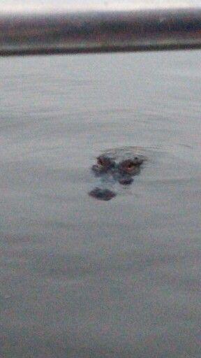 Alligator lurking