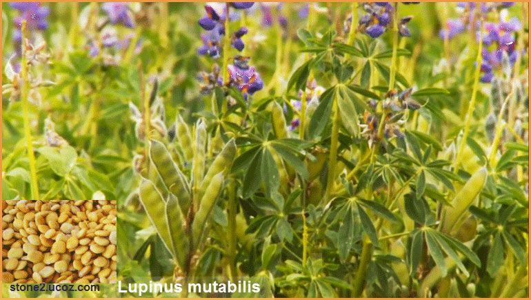 الترمس الظفري معلومات واستخدام Lupinus Mutabilis الخضروات النبات معلومان عامه معلوماتية Plants