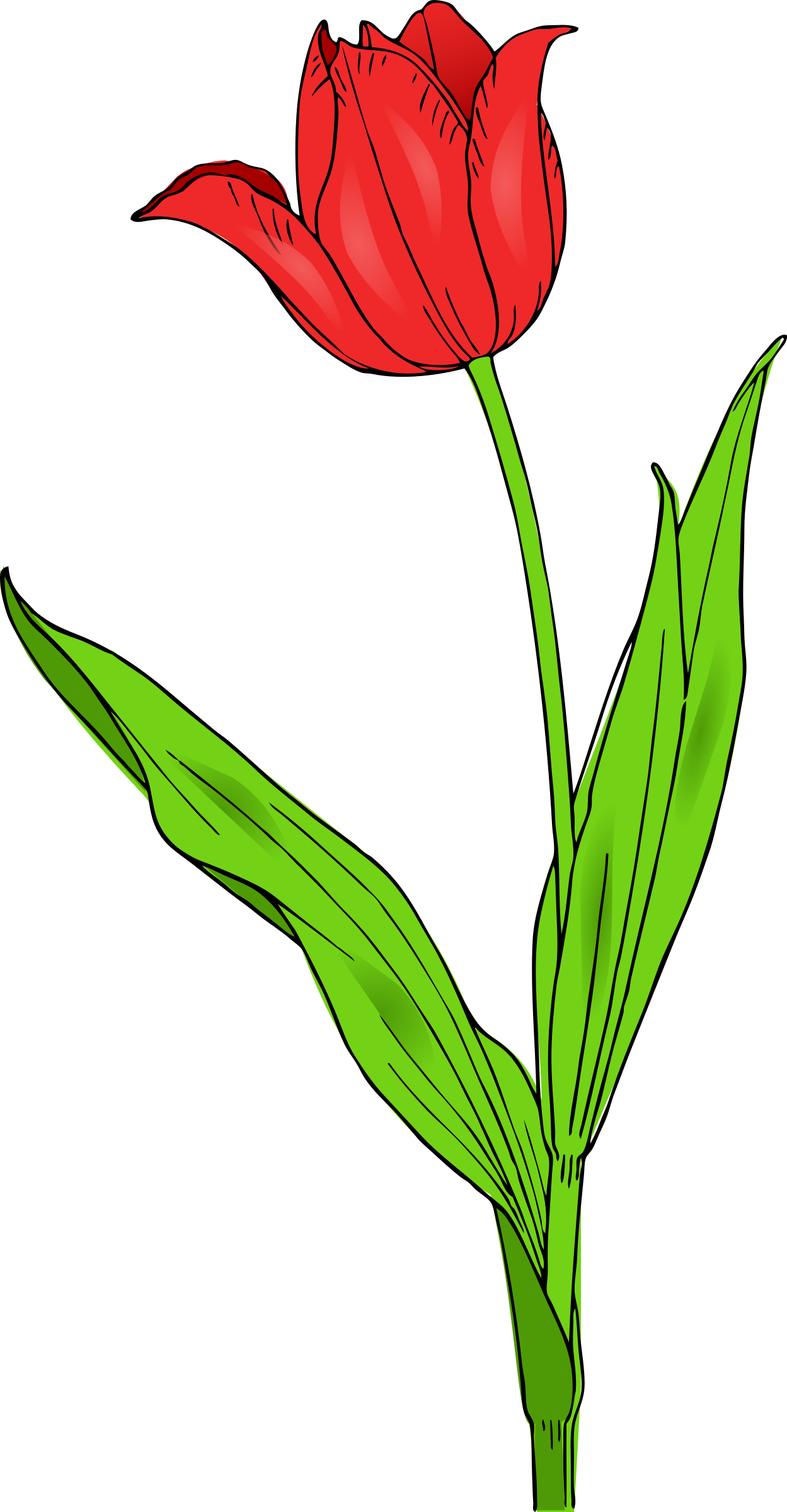 colored tulip by pitr, A colored red tulip., on