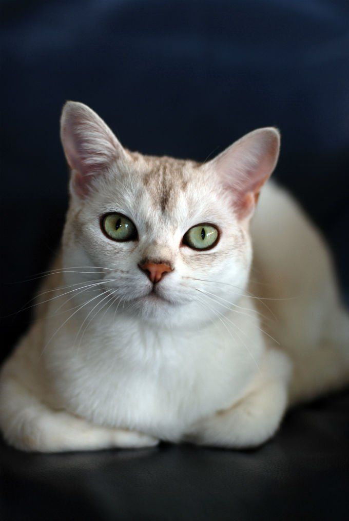Burmilla Cat Breed Information, Pictures, Characteristics & Facts #catbreeds