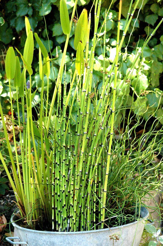 Equisetum hyemale pr le d hiver plante vivace feuillage for Jardin hiver plantation