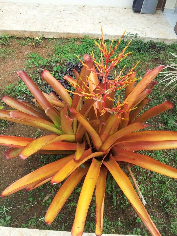 This one is a large Bromeliad, best used as an accent