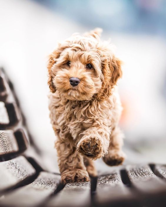Labradoodle Temperament - How to Choose The Right Temperament - Labradoodles & Dogs