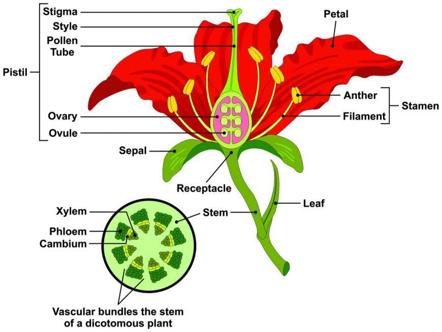 Parts Of A Flower And Plant Do You Know Them All 7 Diagrams Flower Cell Leaf Stem Etc Parts Of A Flower Flower Structure Types Of Flowers