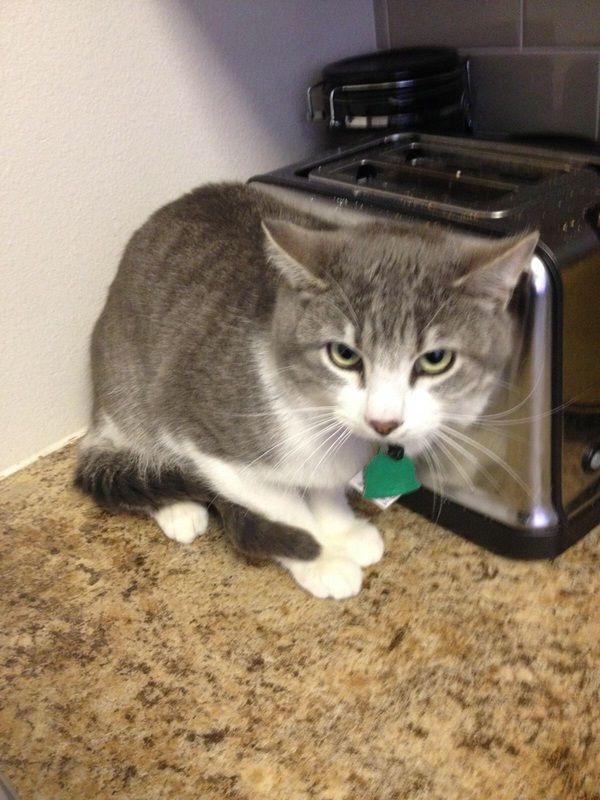 Adoption pending Tucker is a male cat, American