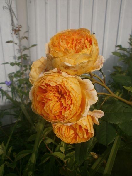 английская роза принцеса Маргарет