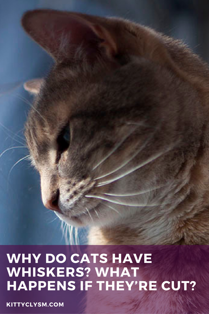 Why Do Cats Have Whiskers Their Purpose What Cat Whiskers Are For Cat Whiskers What Cat Cats