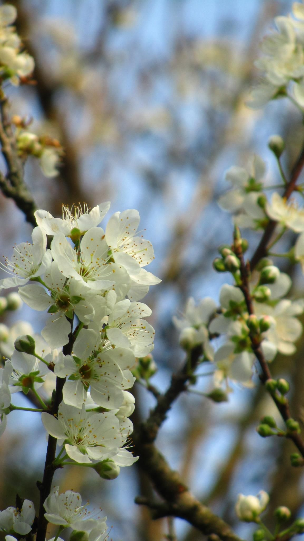 Plum blossom, the National Flower of Taiwan. China image