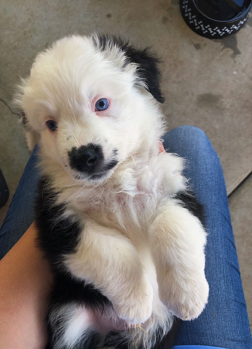 Cute blue eyed puppy in 2020 (With images) Australian