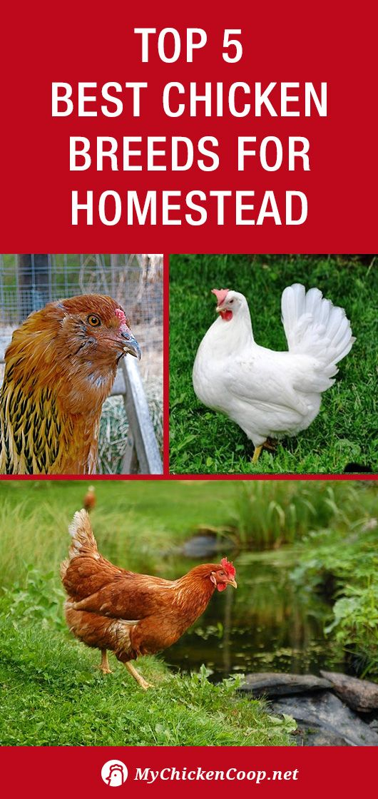 Top 5 Best Chicken Breeds For Homestead: http://www.mychickencoop. - Top 5 Best Chicken Breeds For Homestead: Http://www.mychickencoop
