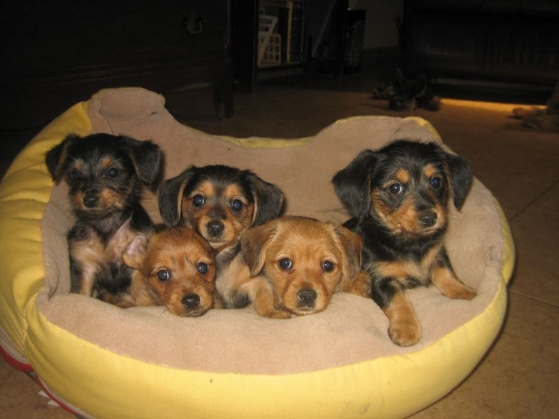 best dog food for dachshunds south africa