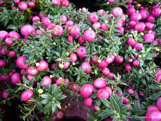 Gaultheria - Baies