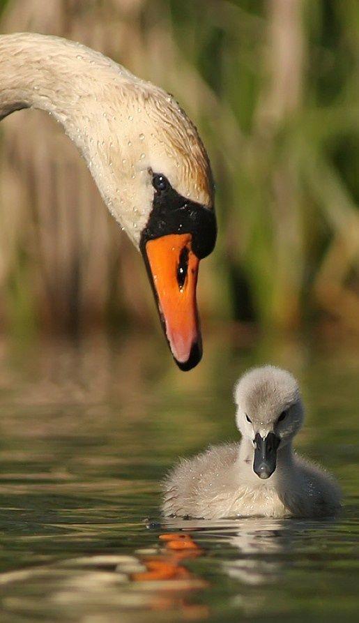 Mute Swan HD Wallpaper | Background Image | 2560x1600