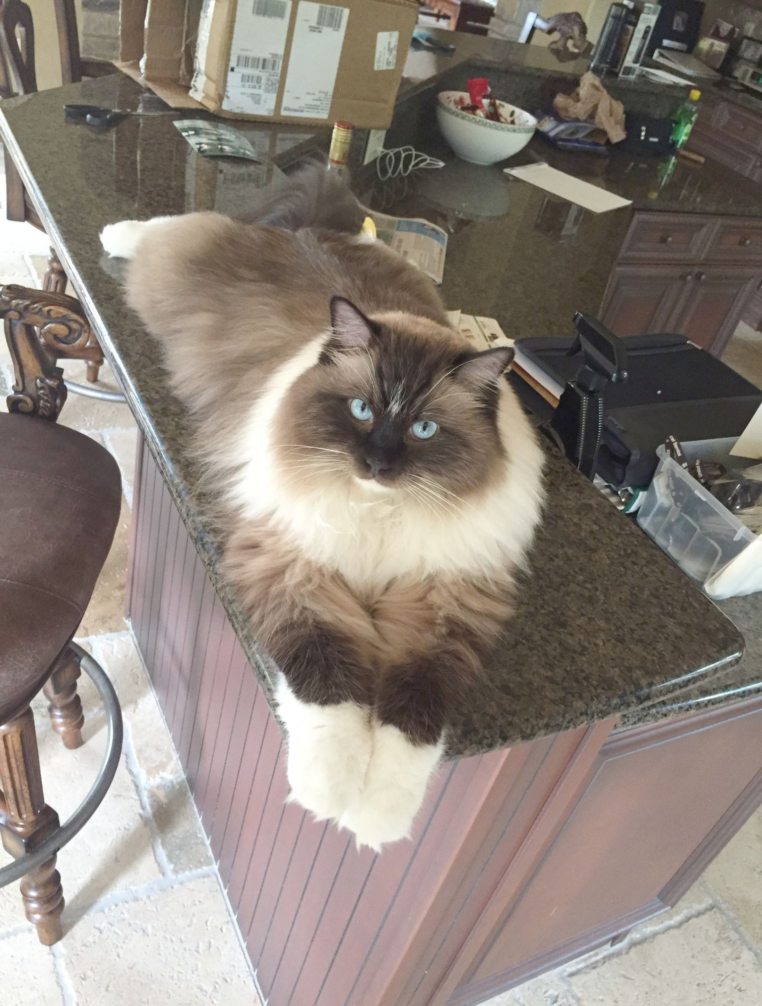 Bradley Ragdoll Of The Week Pretty Cats Cute Cats Cute Animals