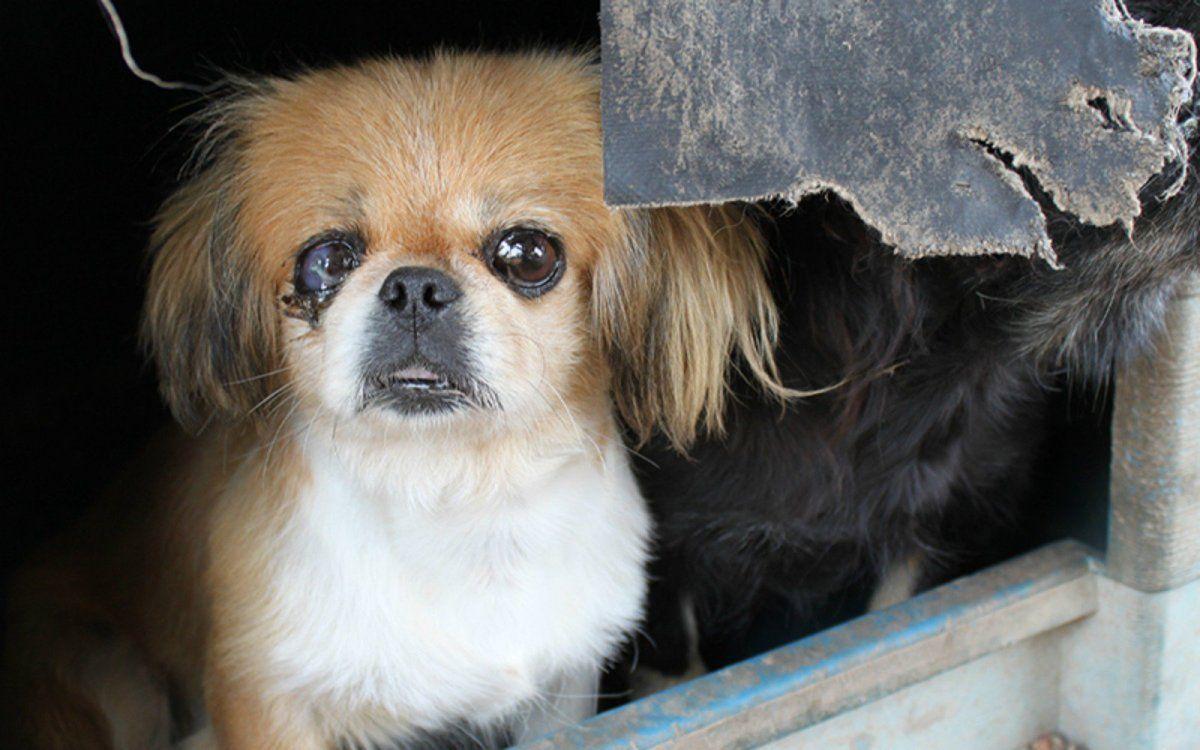 Shih Tzu Puppies For Sale In Texas Craigslist
