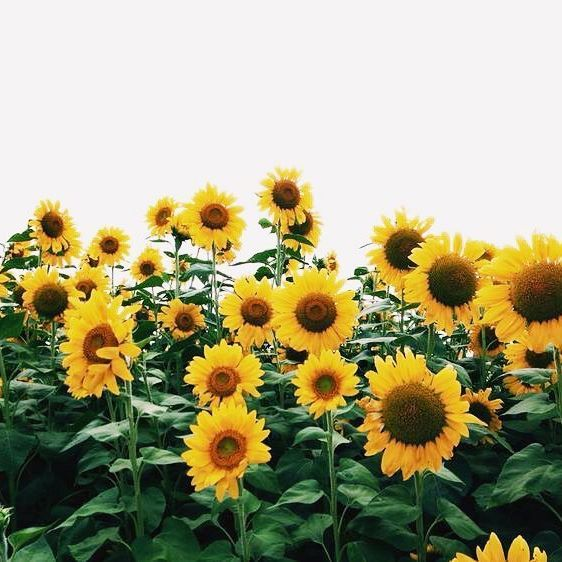 She Believes And Everything Changes Lauren Gaskill Landscape Wallpaper Sunflower Wallpaper Aesthetic Wallpapers
