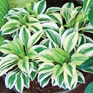 Cameo mini hosta perfect for containers rock gardens or for Green plants for flower beds
