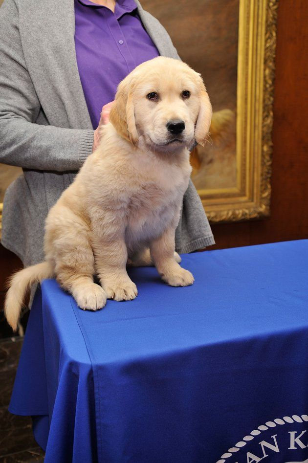Toby The Golden Retriever Attends The Akc Announcement Of Most