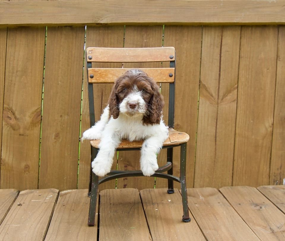 Loveable Springerdoodle Pups For Sale Http Springerdoodles Com Puppies For Sale Cute Puppies Springerdoodle