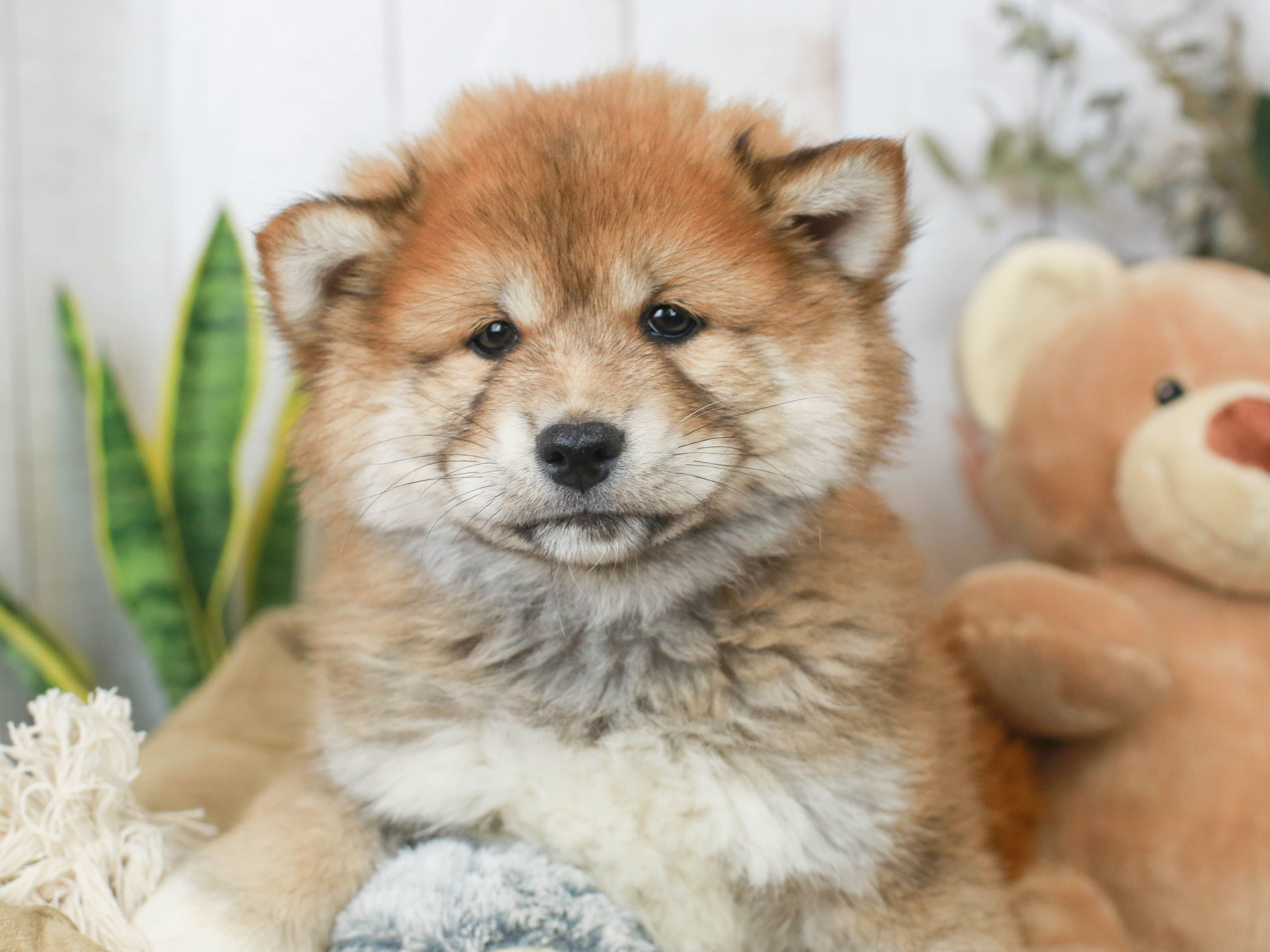 This Is The Fluffiest Shiba Inu Puppy We Ve Ever Seen He Looks Like He Has Bedhead Shiba Inus Are Very Independent Intelli In 2020 Shiba Inu Puppy Puppies Shiba Inu