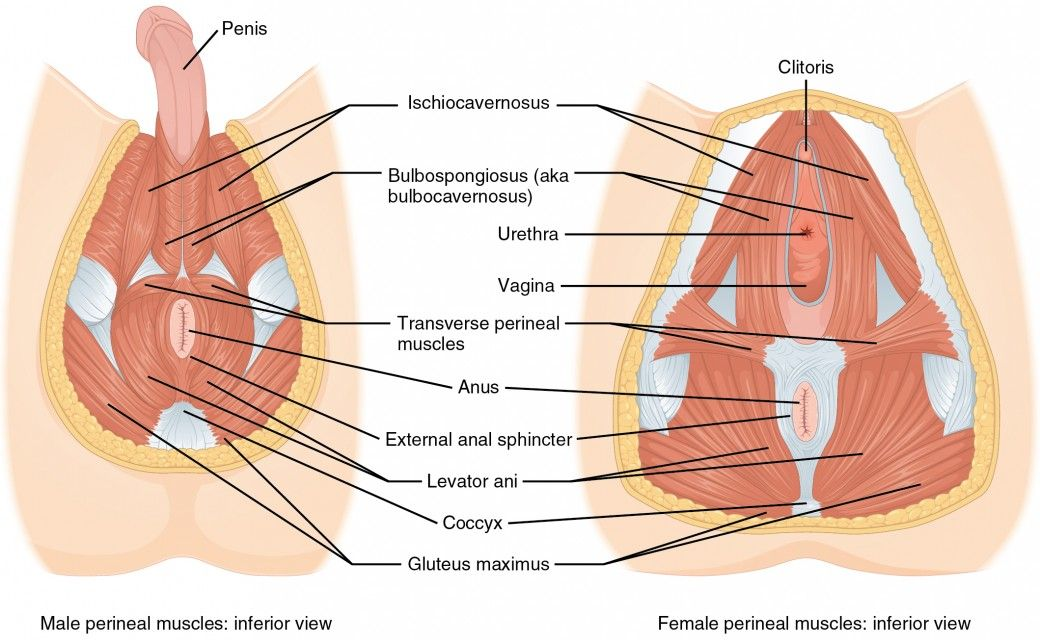 Axial Muscles of the Abdominal Wall, and Thorax | Anatomy and ...