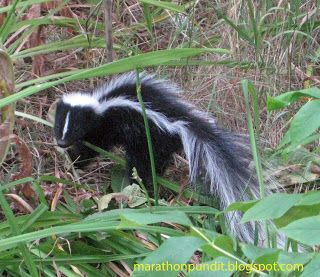 (Photo) Morton Grove skunk #mortongrove A skunk that I encountered near my home in Morton Grove, Illinois #mortongrove