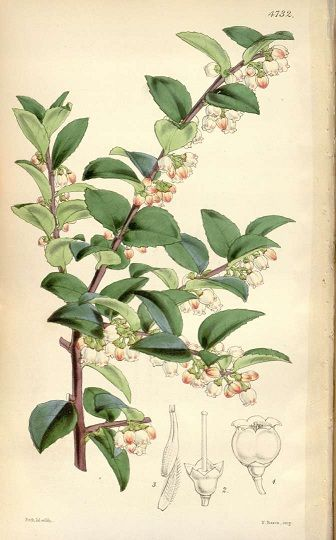 Botanical Drawing Of Huckleberries Google Search Inked