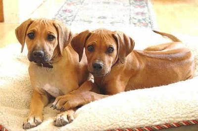 The Attraction And High Maintenance Of The Rhodesian Ridgeback