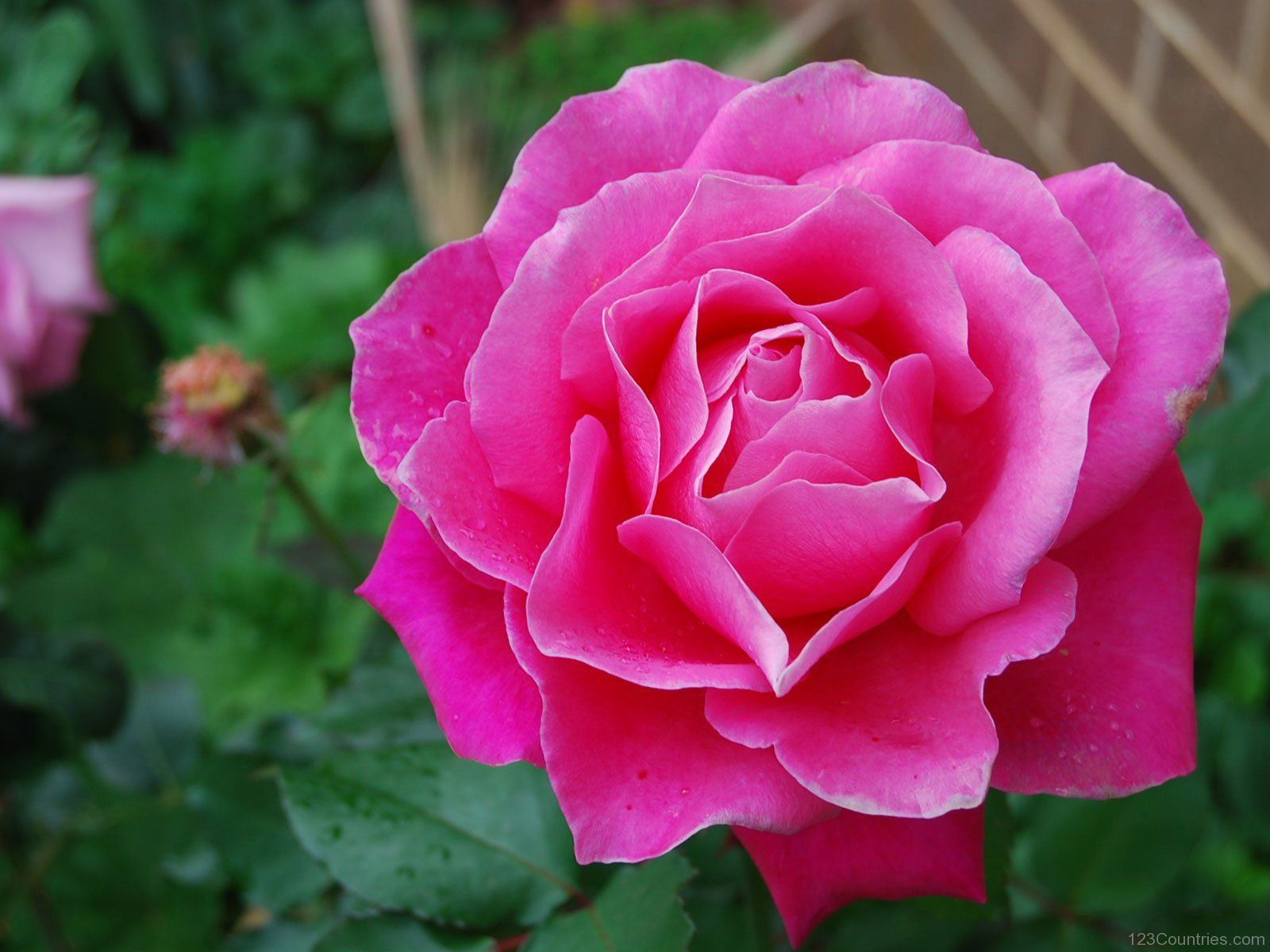 ☆National Flower of Saint Lucia Rose, Amazing flowers