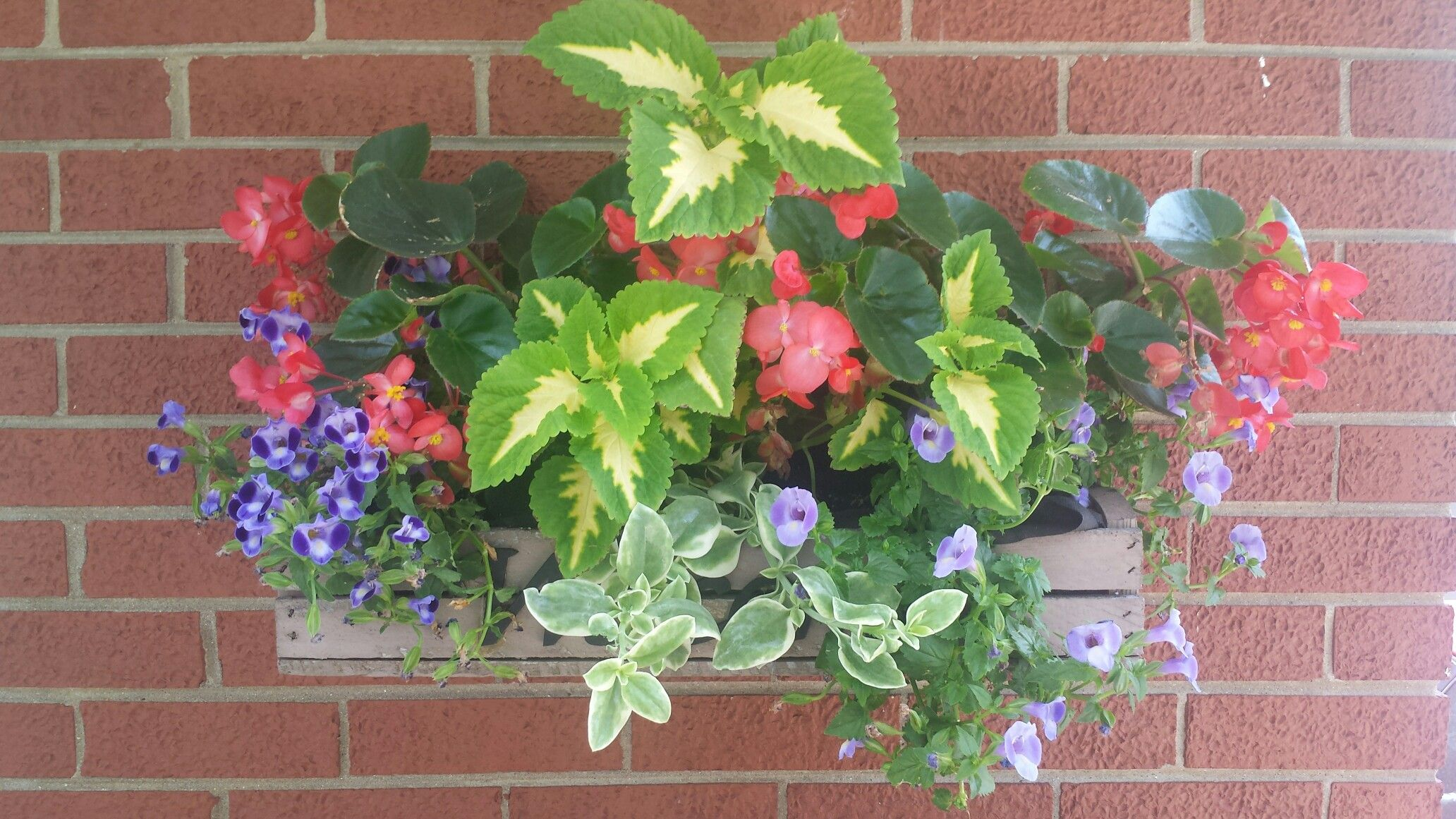 Shade planter box. Includes 2 coleous, dragon wing begonias, torenia ...