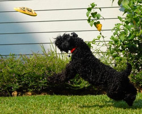 Black Dog With Curly Hair Good For People With Allergies Kerry Blue Terrier Terrier Pet Allergies