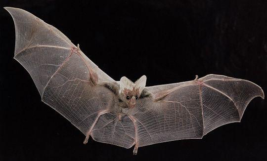 Vampire Ghost Bat | The ghost bat ( Macroderma gigas ...