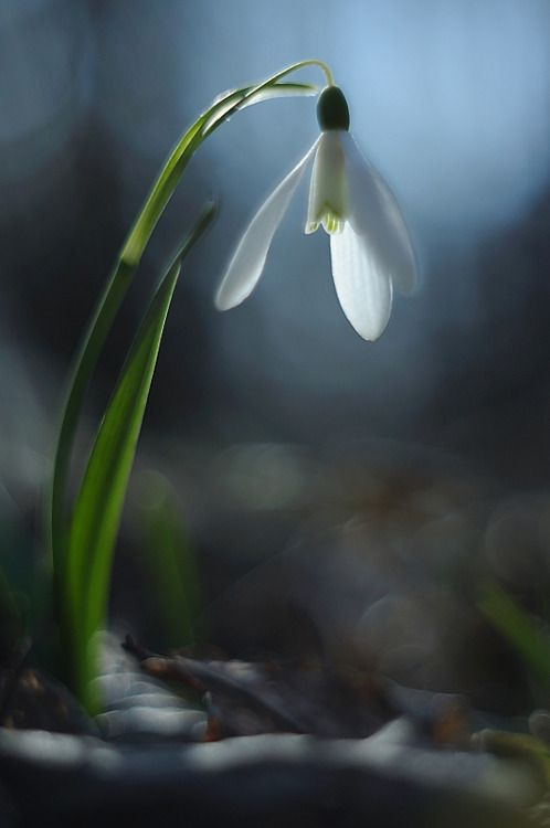 Ah Snowdrops Our Family Flower Persistent Intrepid Blooming Under Harsh Circumstances First Flowers Of Spring Fancy Flowers Family Flowers