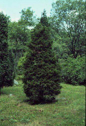 Juniperus virginiana eastern redcedar plant database
