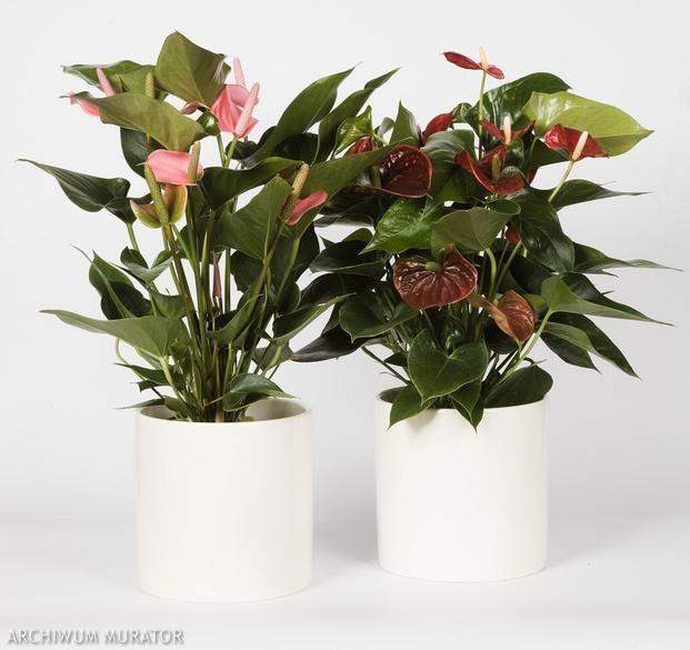 Kwiaty Doniczkowe Kwitnace Zima Zdjecia Kwiatow Plants Houseplants