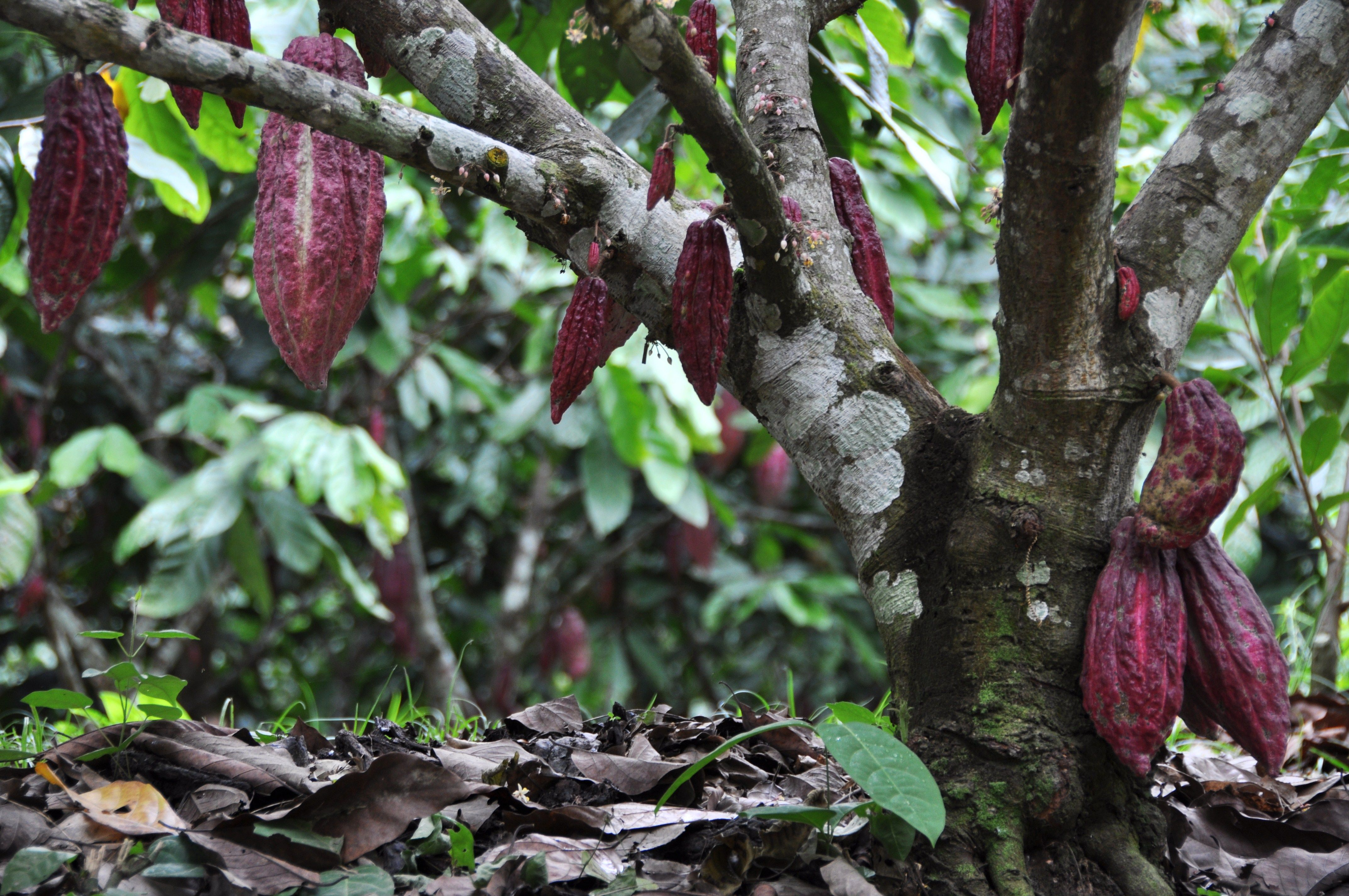 Cabosse Frutti Della Pianta Di Cacao Hacienda San Josè