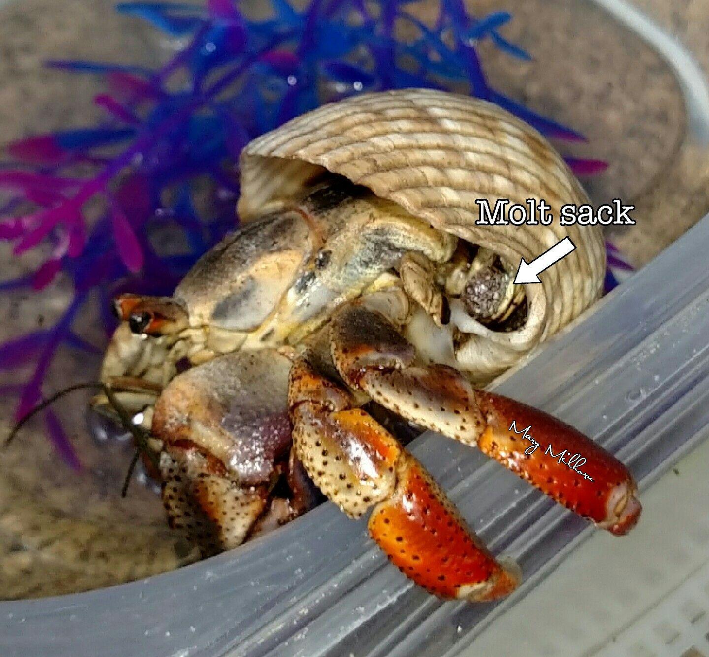 Land Hermit Crab Anatomy Molt Sack #hermitcrabs ...