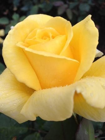 Butchart Gardens: Yellow Rose. #butchartgardens #flowers #butchartgardens