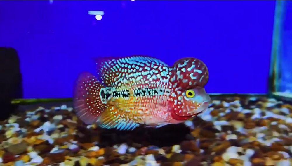 Aaa Grade Big Kok Kamfa Flowerhorn 3 Inch Direct From Thailand