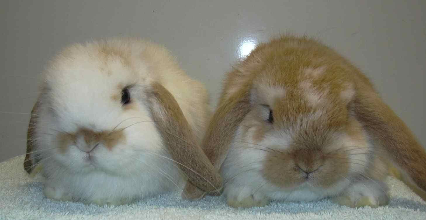 Mini Lop Rabbits Google Search Mini Lop Rabbit Breeds