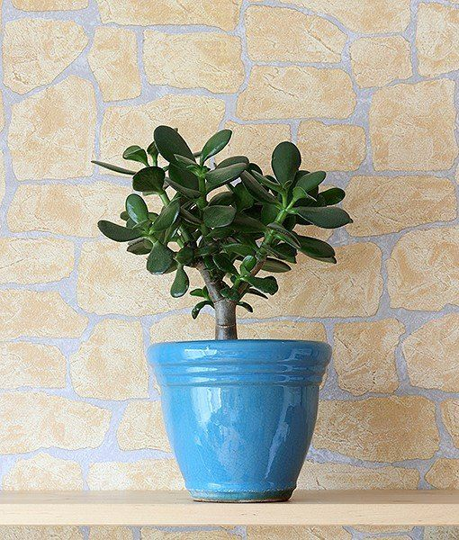 Jade Plant Also Known As Baby Jade Dwarf Rubber Plant Jade Tree