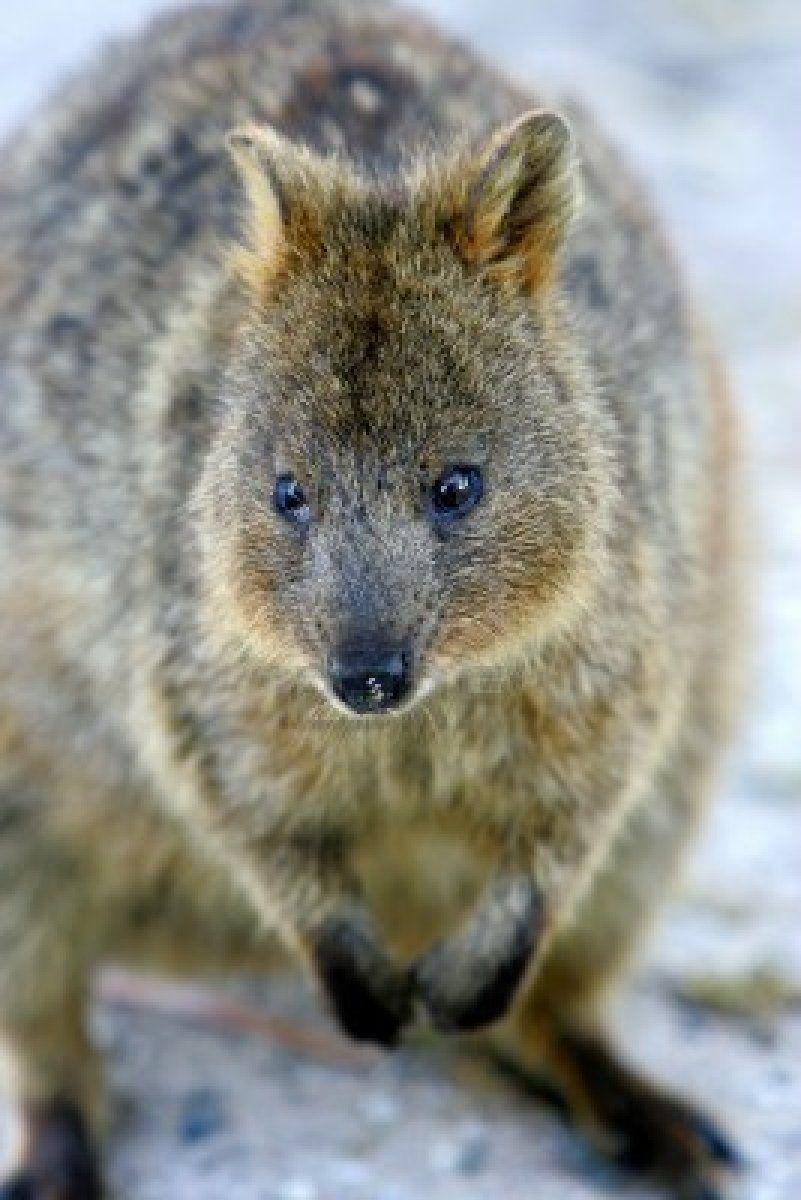 オーストラリアクアッカワラビー ロイヤリティーフリーフォト 可愛すぎる小動物☆クアッカワラビー画像まとめ