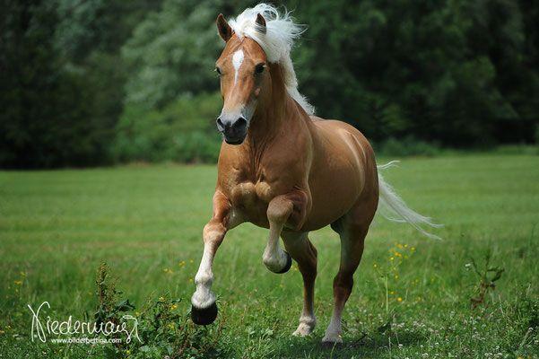 Haflinger Pferde Pferde Rassen Freizeitpferde