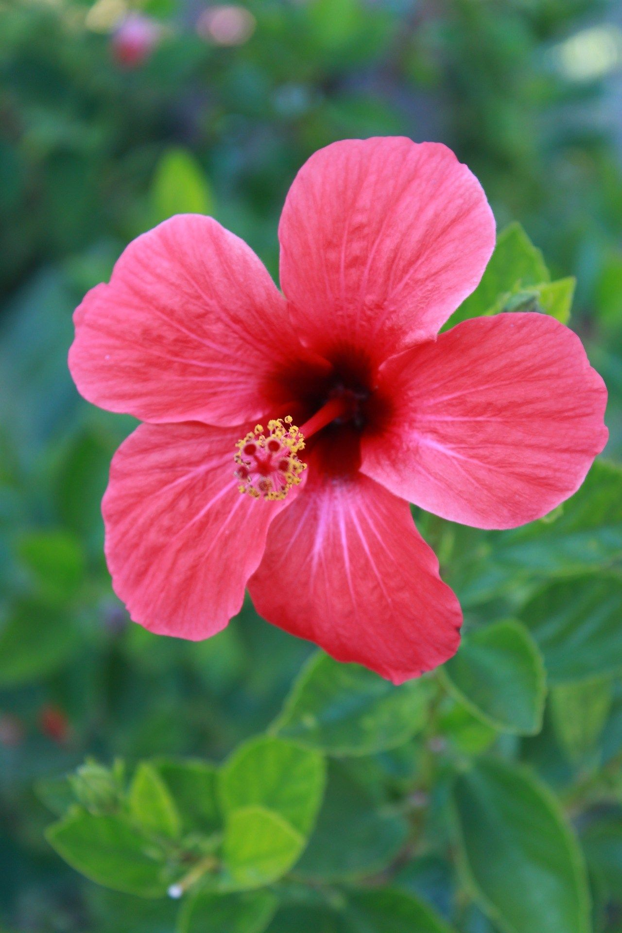 Have You Ever Dreamed Of Growing A Hibiscus Plant Or Horticulture