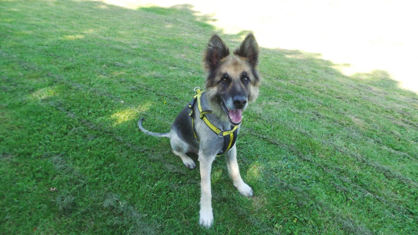 Adopt A Dog Oscar German Shepherd Dog Gsd Alsatian Dogs Trust Dog Adoption Dogs Dogs Trust
