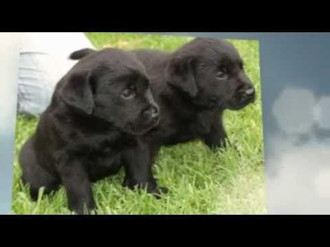 Labrador Puppies For Sale In Nsw Australia Labrador Puppies For Sale Labrador Puppy Labrador Retriever